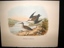 Elliot Birds of North America 1869 LG Folio H/Col Print. Western Sandpiper